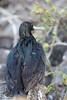 Great Frigatebirds - Male - Darwin Bay, Isla Genovesa, Galapagos, Ecuador