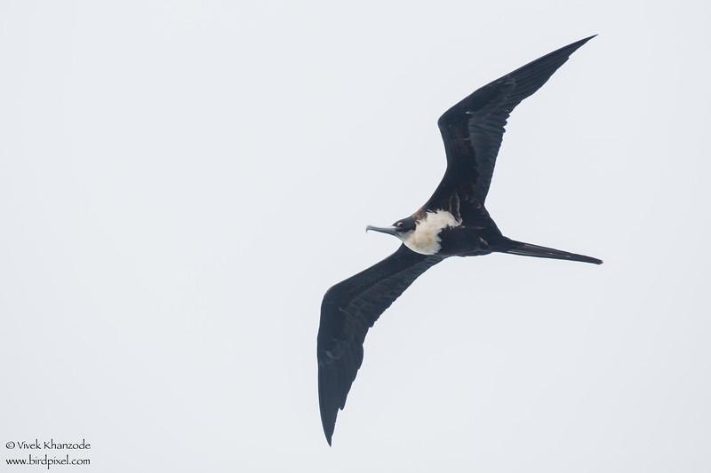 Great Frigatebird - Galapagos, Ecuador