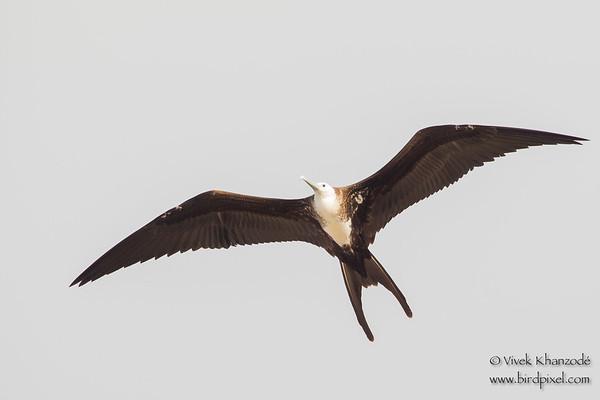 Frigatebirds - Fregatidae