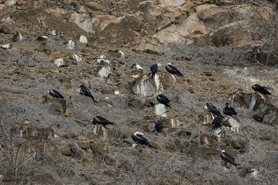 Magnificent Frigatebird Colony - Galapagos, Ecuador