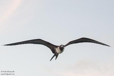 Magnificent Frigatebird - Caye Caulker, Belize