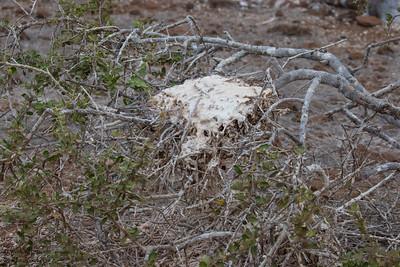 Magnificent Frigatebird nest - Galapagos, Ecudador