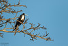 Magnificent Frigatebird - Bijao, Panama