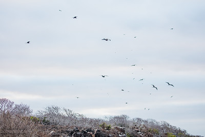 Frigatebirds - Galapagos, Ecudador