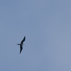 Magnificent Frigatebird - Female - Record - Osa, Costa Rica