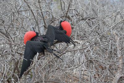 Magnificent Frigatebird - Galapagos, Ecudador