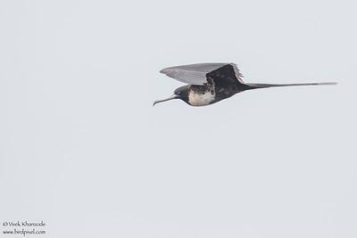 Magnificent Frigatebird - Galapagos, Ecuador