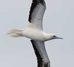 Red-footed Booby :