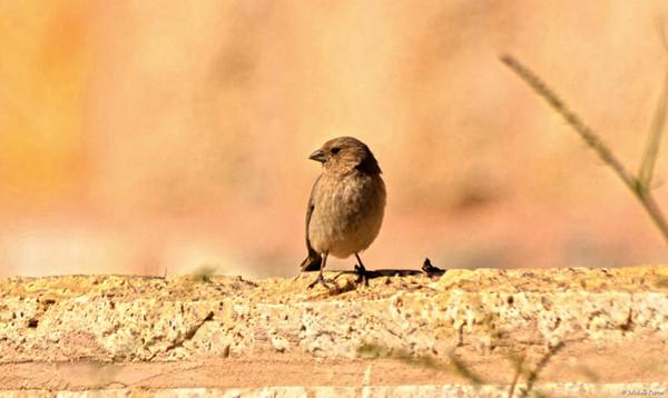 Sinai Rosefinch (female)