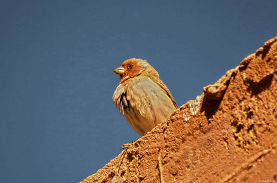 Sinai Rosefinch (male)