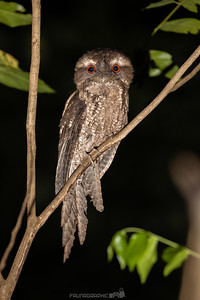 Marbled Frogmouth (marmoratus)