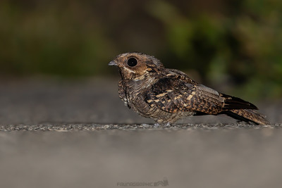 Large-tailed Nightjar