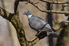 Common wood-pigeon, Ringdue, Columba palumbus, Vaserne, Danmark, Apr-2013