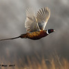 Flying Male Ring Necked Pheasant