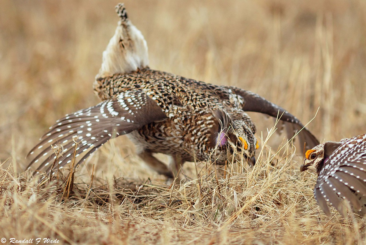 Sharp-tailed Grouse Confrontation