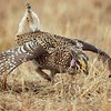 Sharptail Grouse Confrontation