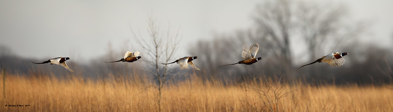 Flying Pheasant Panorama