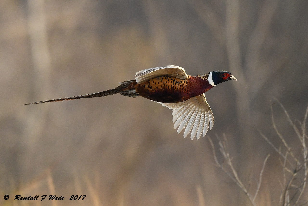 Gliding Male Ring Necked Pheasant