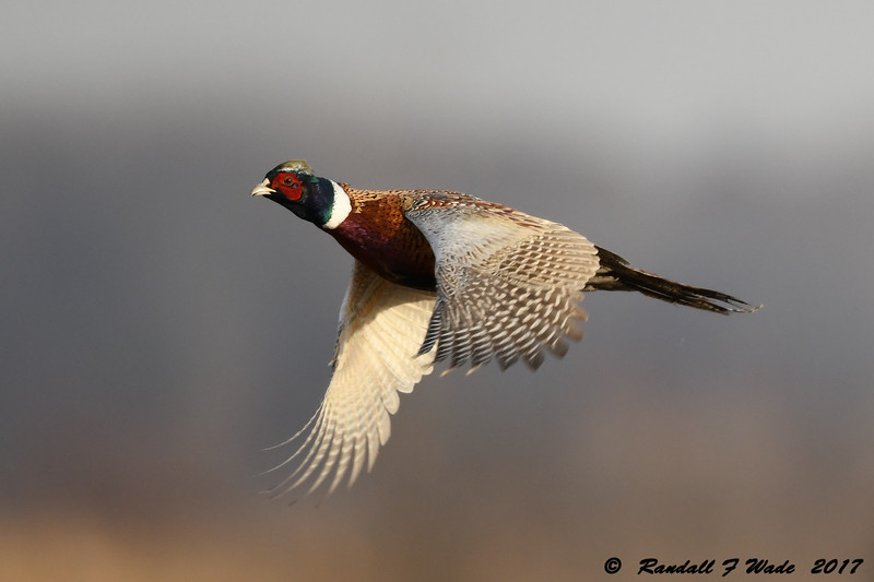 Flying Male Ring Necked Pheasant 2