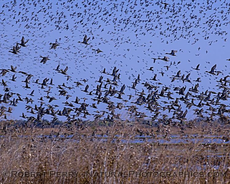 Branta canadensis massive flocks 2019 10-30 Sac NWR--034