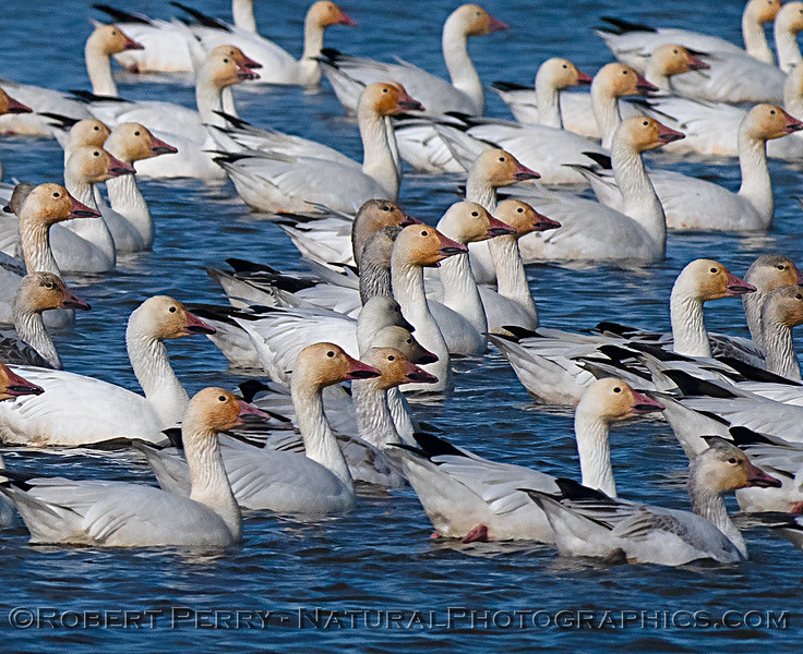 Chen caerulescens flock on water CLOSE 2020 01-14 Sac NWR--020