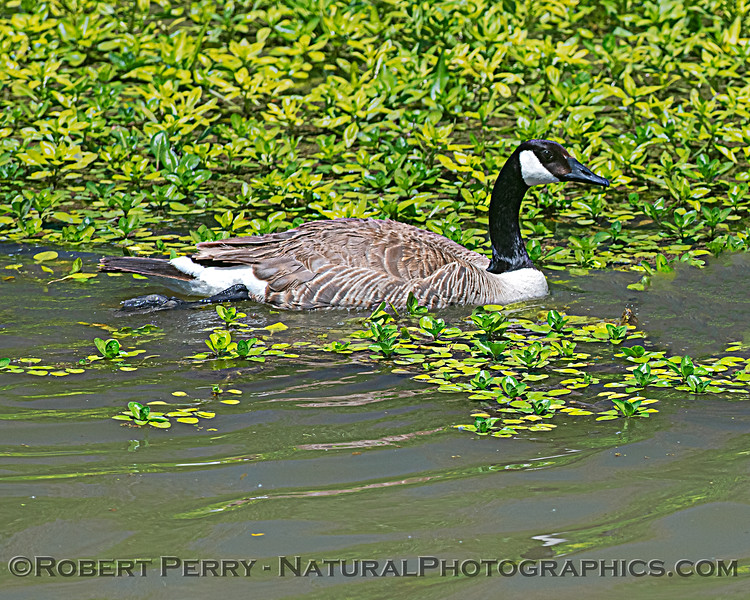 Branta canadensis in irrigation canal 2020 05-27 Yolo ByPass--056