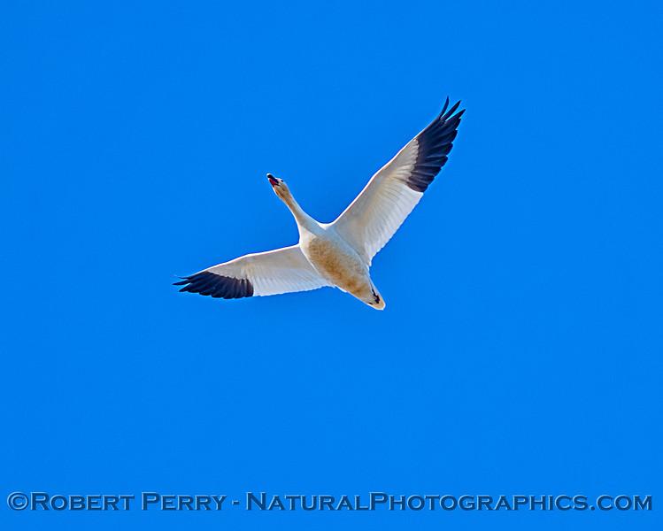 Chen caerulescens Snow geese 2019 02-06 Sac NWR--062