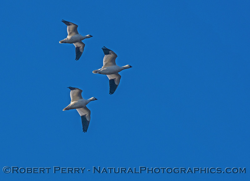 Chen caerulescens snow goose geese IN FLIGHT 2016 12-21 Colusa-006