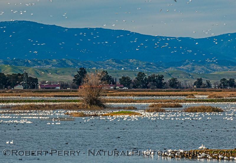 Chen caerulescens snow geese masses 2017 01-06 -Sacramento NWR -b- 048