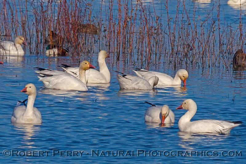 Chen caerulescens snow geese 2016 12-06 Sacramento NWR-057