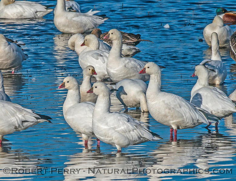 Chen caerulescens snow goose geese 2016 12-21 Colusa-003