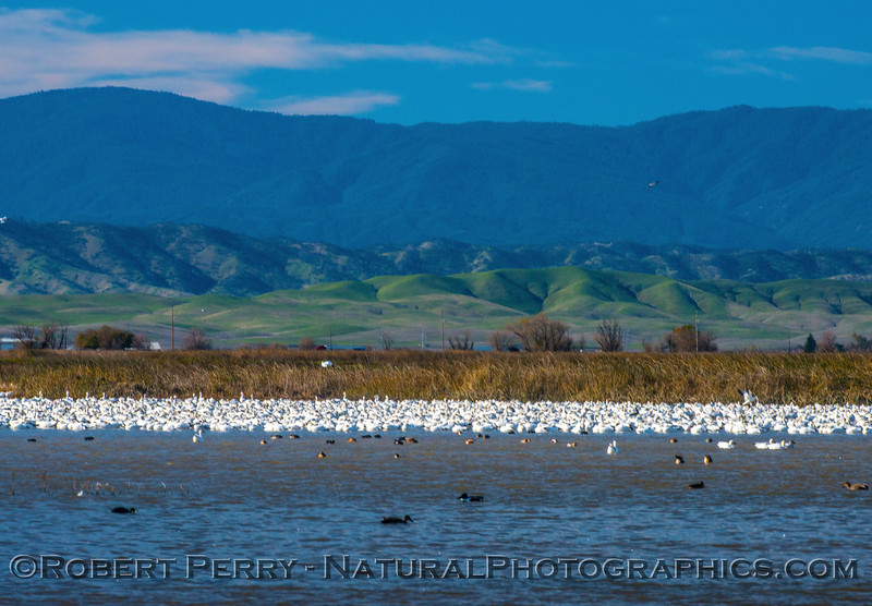 Chen caerulescens snow geese in pond sleeping 2016 12-18 Sacramento NWR-005