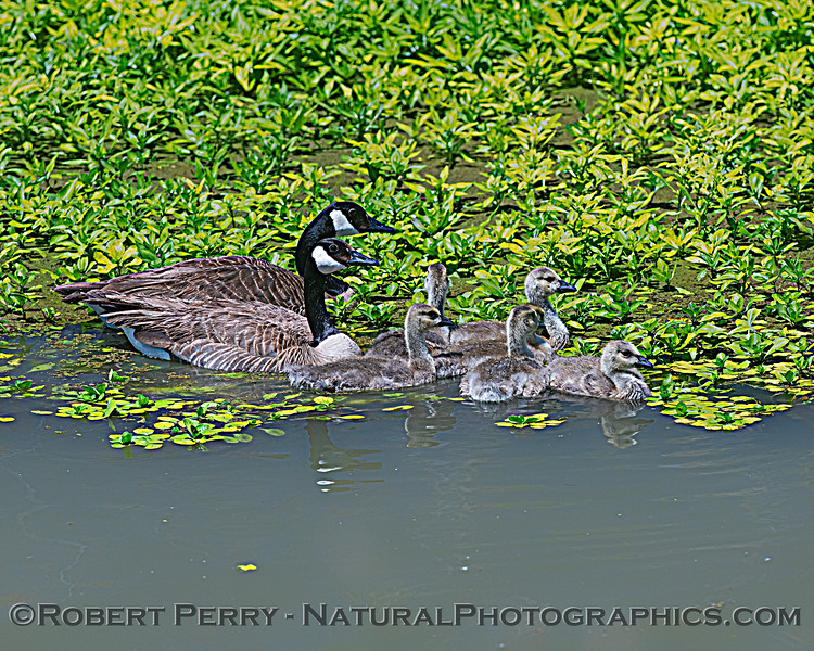 Branta canadensis with goslings in irrigation canal 2020 05-27 Yolo ByPass--079
