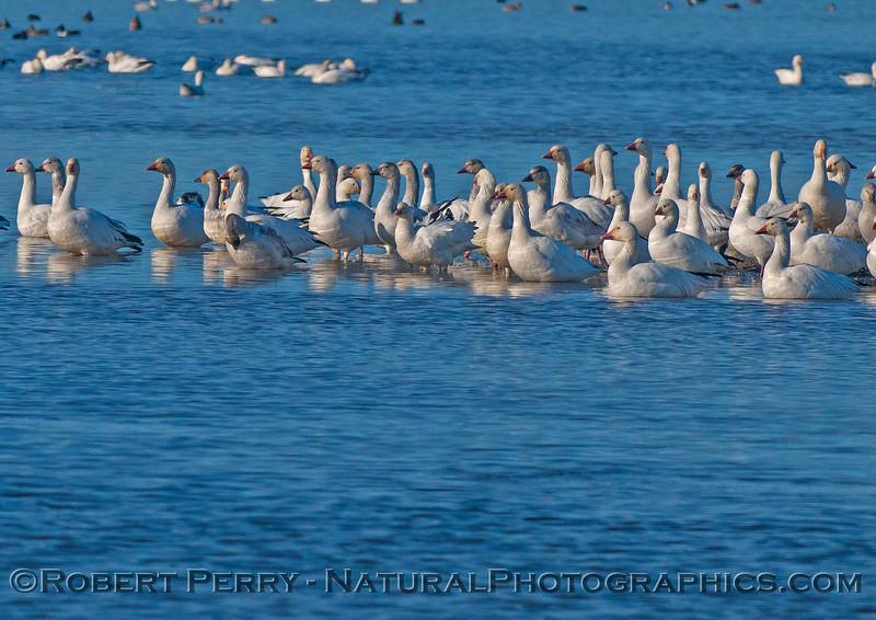 Chen caerulescens snow geese in wetlands 2016 12-06 Sacramento NWR-653