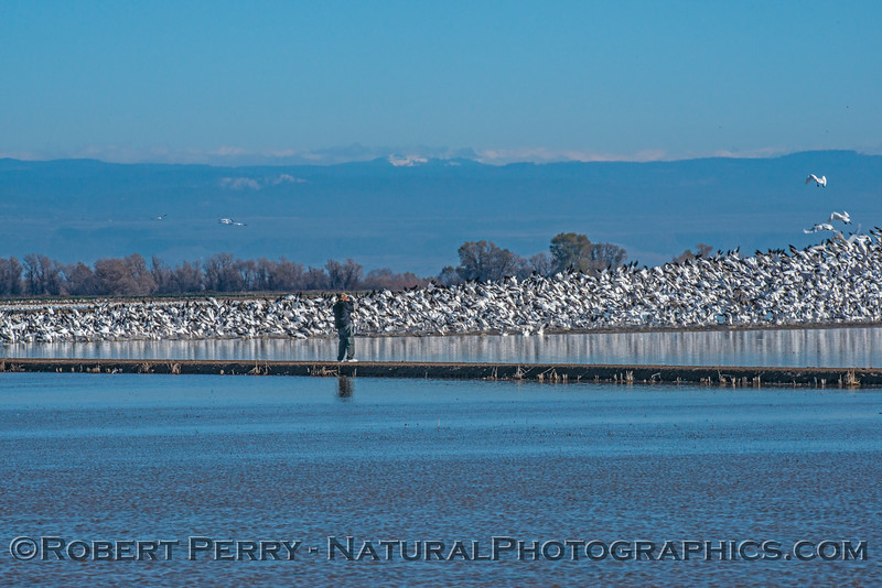 Chen caerulescens snow geese MASSES 2016 12-21 Colusa-a-003