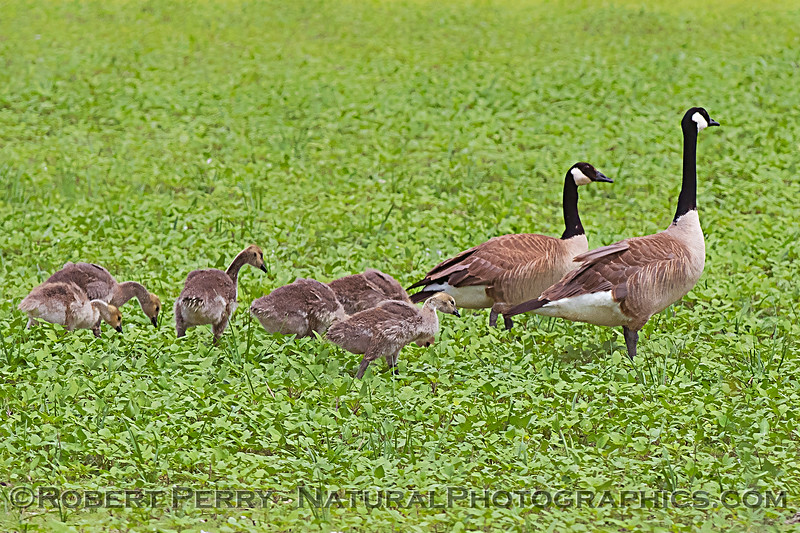 Branta canadensis with goslings in grass 2020 05-02 Sac NWR--048