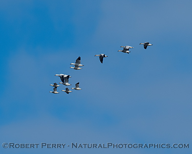 Chen caerulescens flock in flight 2019 11-28 Sac NWR--002