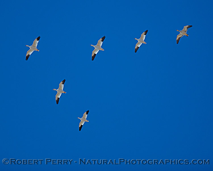 Chen caerulescens in flight looking up sky 2019 10-30 Sac NWR--009