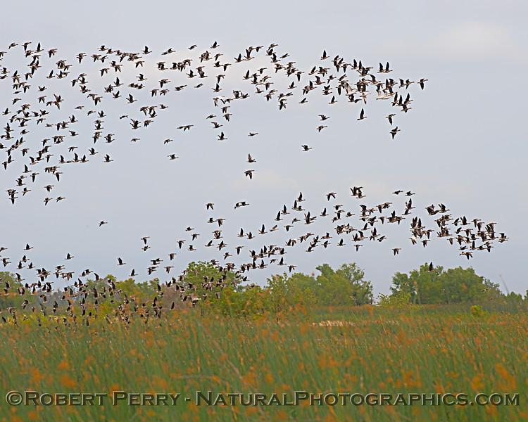 Anser albifrons flock in flight 2020 05-02 Sac NWR--018