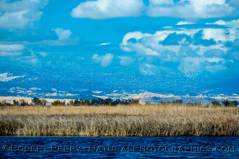 wetlands scenery with geese MASSES 2019 11-28 Sac NWR-h-005