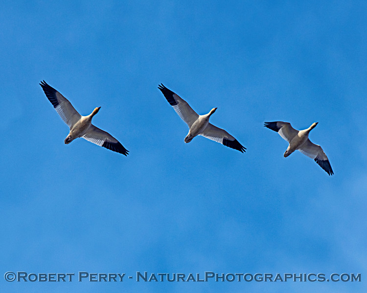 Chen caerulescens Snow geese in flight looking up 2019 01-03 Sac NWR--009