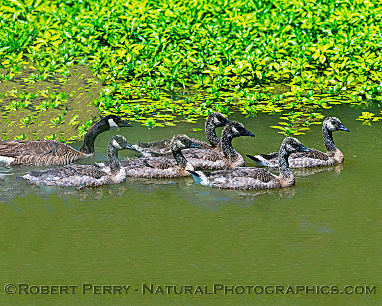 Branta canadensis with goslings in irrigation canal 2020 05-27 Yolo ByPass--003