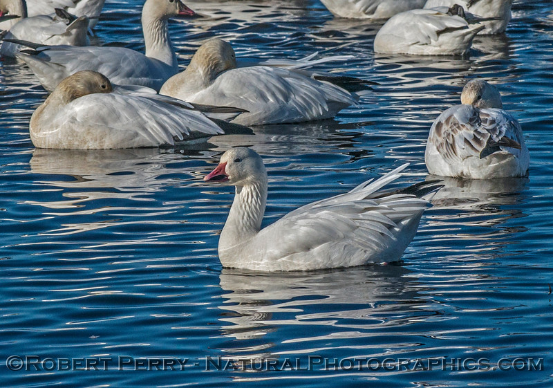 Chen caerulescens snow goose geese 2016 12-21 Colusa-001