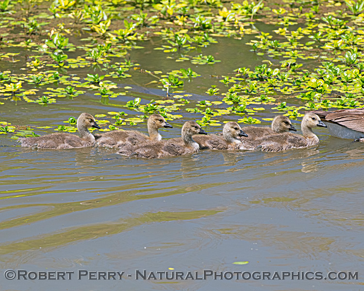 Branta canadensis goslings in irrigation canal 2020 05-27 Yolo ByPass--160