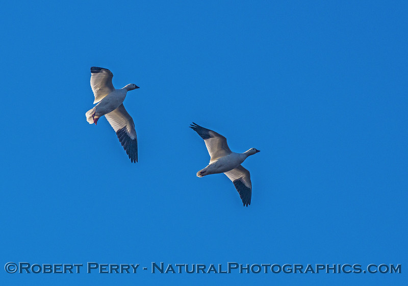 Chen caerulescens snow goose geese IN FLIGHT 2016 12-21 Colusa-009