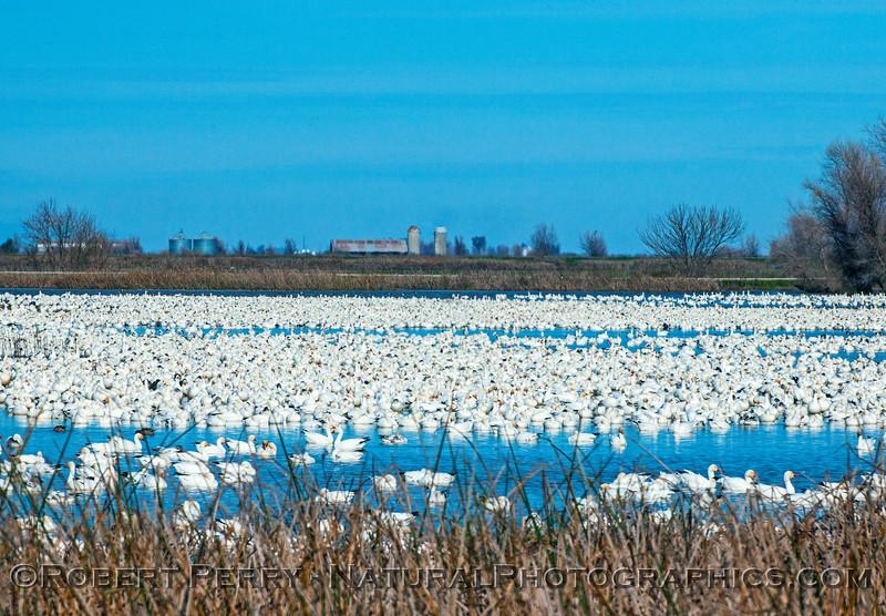 Chen caerulescens snow geese masses 2017 01-06 -Sacramento NWR -b- 005