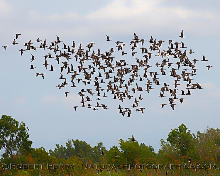 Anser albifrons flock in flight 2020 05-02 Sac NWR--010