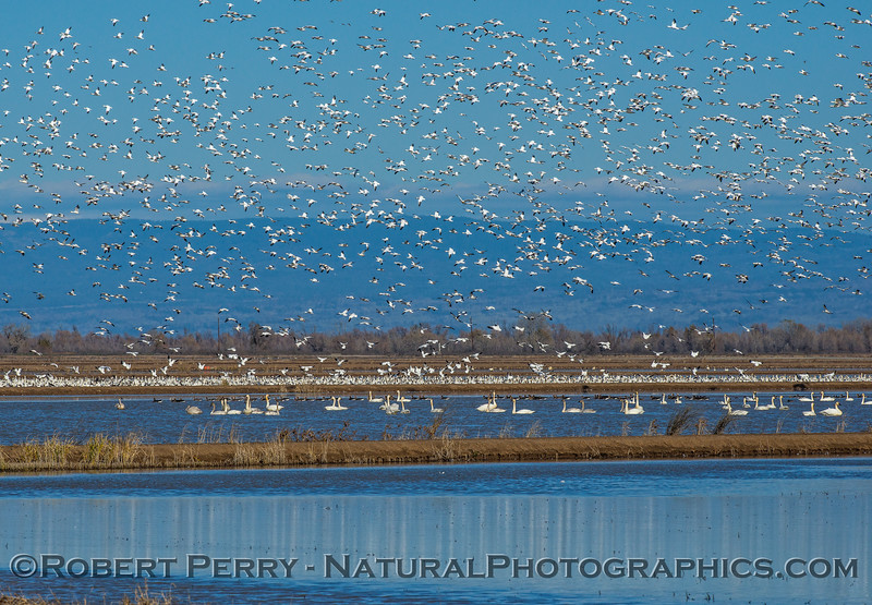 Chen caerulescens snow geese MASSES 2016 12-21 Colusa-a-001