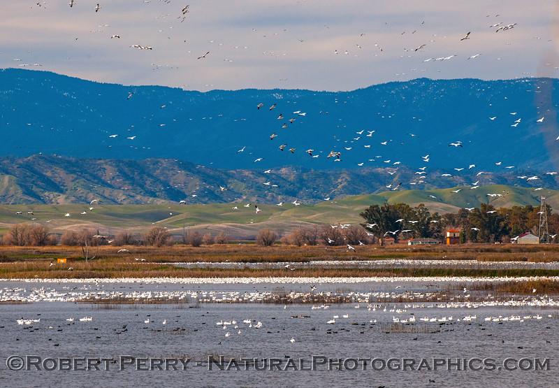 Chen caerulescens snow geese masses 2017 01-06 -Sacramento NWR -b- 036