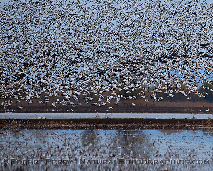 Chen caerulescens Snow geese 2018 11-26 LLano Seco--091